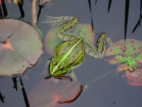 Der Frosch imRegen